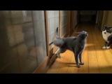 Frenzy knocking: human NINJA cat is going to BREAK the door! He knocks like pro!