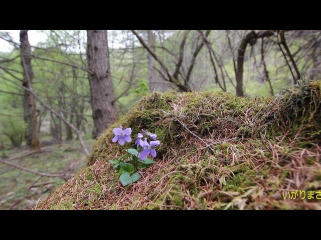 野の花の断章 春編 試視聴版 いがりまさしマルチメディア作品