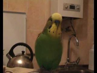 Волнистый попугай  разговаривает.wmv