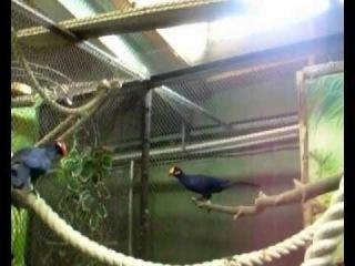 Птицы-непоседы фиолетовые турако