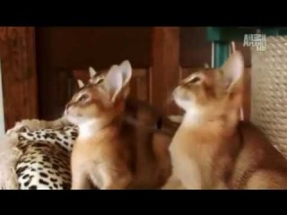 zoo-sale.com Абиссинская кошка - Abyssinian