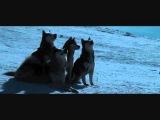 Белый плен. Видео о преданности собак, настоящий любви, вере, силе, дружбе....