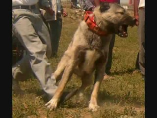American Pitbull vs.Kurdish Kangal