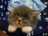 Sweet Tired Cat [-.-]Zzz - Fluffy Persian Kitten -