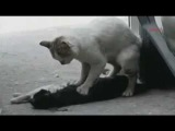 Cat tries to wake up dead friend - Turkish street cat
