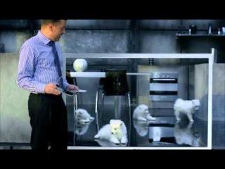 Реклама с щенком самоеда