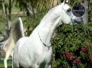 Global Star TV P.R.O.HORSE 03 Обман при покупке лошадей?