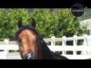 Global Star TV P.R.O. HORSE 22 АРАБСКИЕ ЛОШАДИ. Часть 1