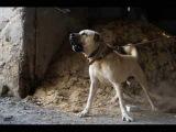 BIGGEST DOGS FROM TURKEY (Kangal - Malakli - Akbas)  !!! WORLD RECORD !!!!