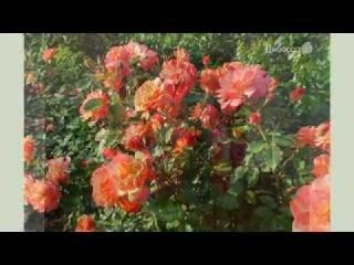 Парковая роза Вестерленд от тм Дивосад