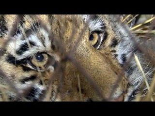 В Хабаровском питомнике спасают пятимесячного тигренка, которого привезли из Приморского края - Первый канал