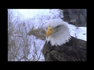Decorah Eagles Mom Brings Branch to Old Nest! 1-7-13