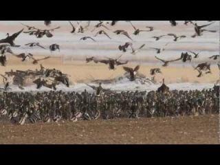 Охота хищных птиц на утином пролете.