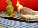 Попугаи ожереловый и корелла нимфа делят лакомство