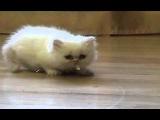 Маленький шнырь! Прикол про котенка - шныренка!