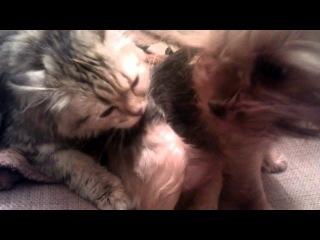 Кошка лижет жопу собаке))))вот так вот Потапушка))))
