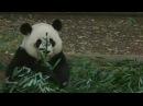 Детеныш гигантской панды проходит медосмотр