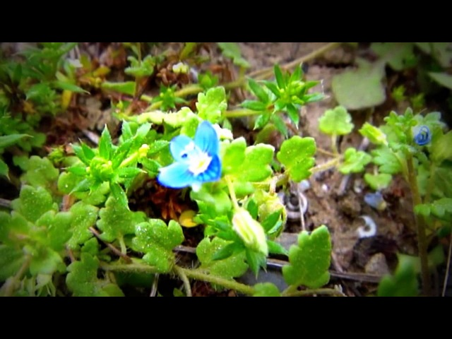 БАКУ: 24.03.2013. Весна, Абшерон, Горадиль: - Цвет Полей...
