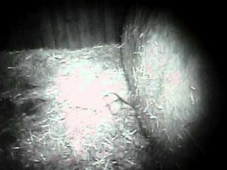 Уникальные кадры: рождение белого медвежонка! Зоопарк Рануа, Финляндия, 18 ноября 2011.