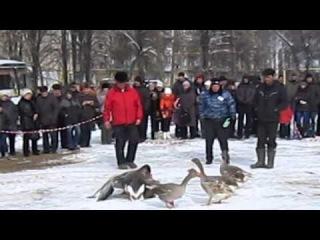 Гусиные бои в городе Павлово-на-Оке, 2013 г.