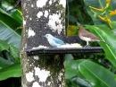 Голубая танагра Thraupis episcopus