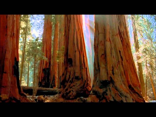 Красивая Земля Удивительные деревья Гигантские калифорнийские Секвойи