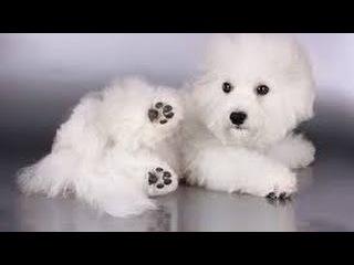 Бишон фризе, все породы собак, 101 dogs. Введение в собаковедение.