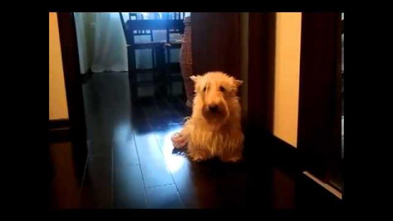 Яша сегодня не выйдет! Скотч-терьер не хочет гулять!)