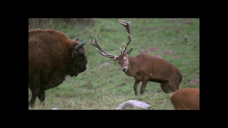 Олень атакует зубра Red Deer attack bison