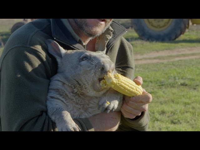 Feeding a farting wombat - Natural World 2016 Episode 5 Preview - BBC Two