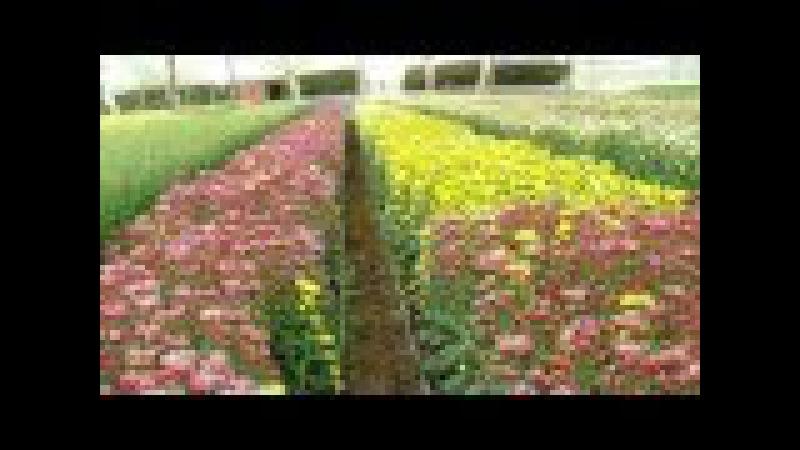 Cultivo de Crisantemo en Japón - Flor Imperial - TvAgro por Juan Gonzalo Angel