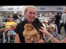 Немецкий карликовый (померанский) шпиц на World Dog Show 2016 в Москве