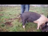 Как выпрямить хвост свиньи - Журнал ОМ