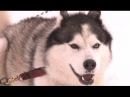Сибирский хаски Планета собак 🌏 Моя Планета