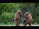 Бурый медведь. Мир животных. Медвежьи истории. Документальный фильм.