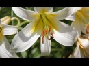 Королевские ЛИЛИИ красивые цветы