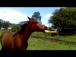 Лошадка и резиновая курица