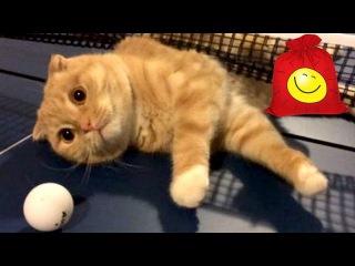 Коты играют в пинг понг. Кошки и настольный теннис