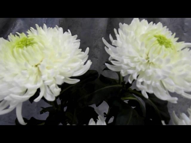 Хризантема Магнум, Нескучный сад Новоуральск-интернет-магазин цветов