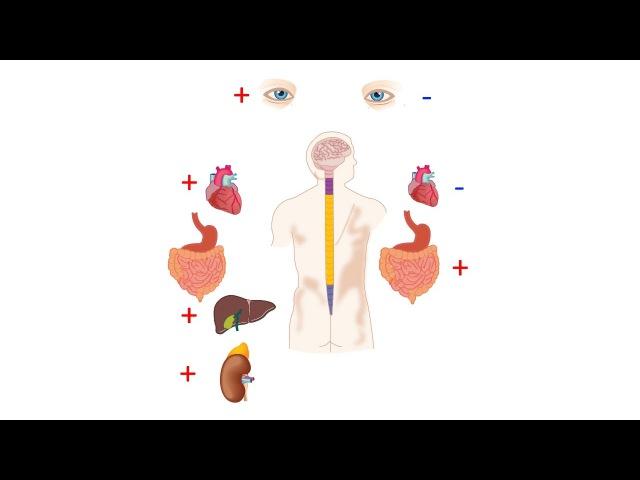 5.4 Нервная система - автономная (8 класс) - биология, подготовка к ЕГЭ и ОГЭ 2017