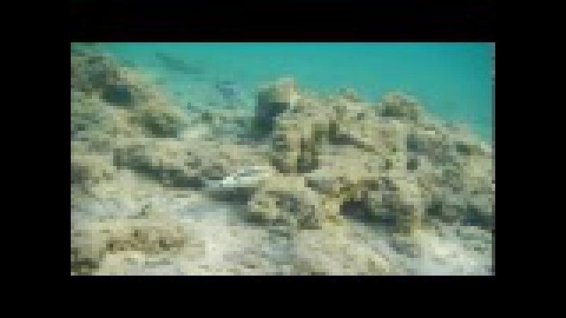 каталог рыб красного моря, барабуля красноморская зубатая, Parupeneus forsskali