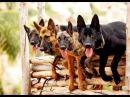 Основы дрессировки служебной собаки