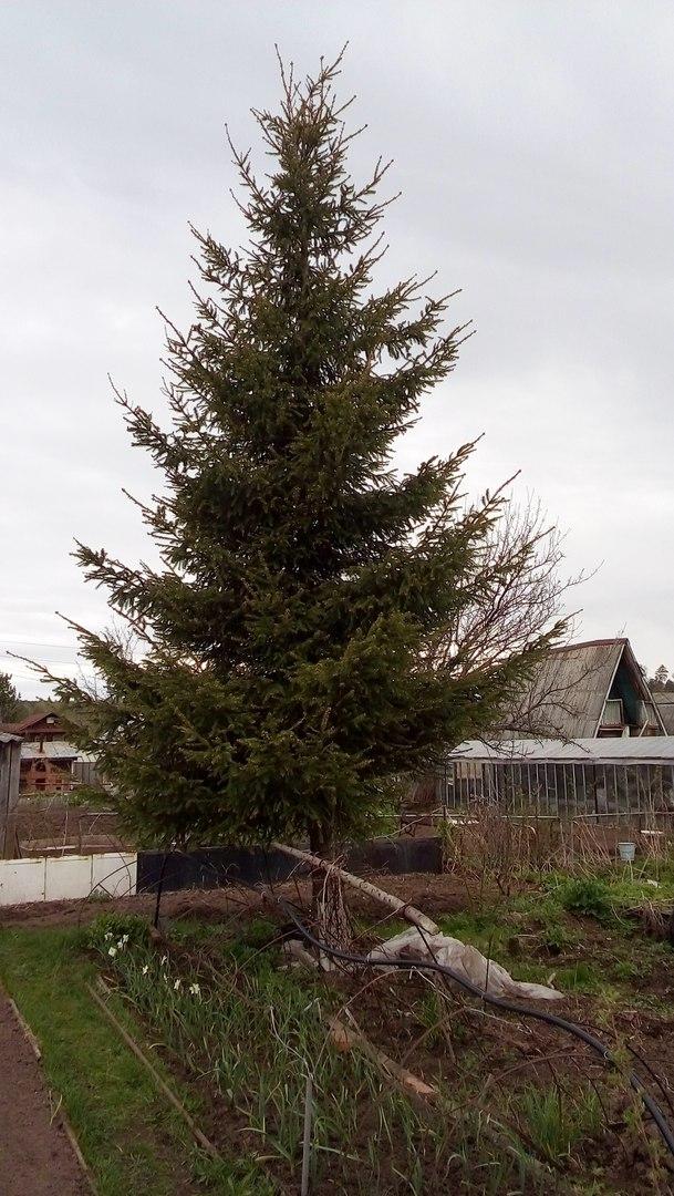 Почему нельзя сажать елку в доме 32
