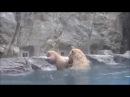 Медведица спасает медвежонка