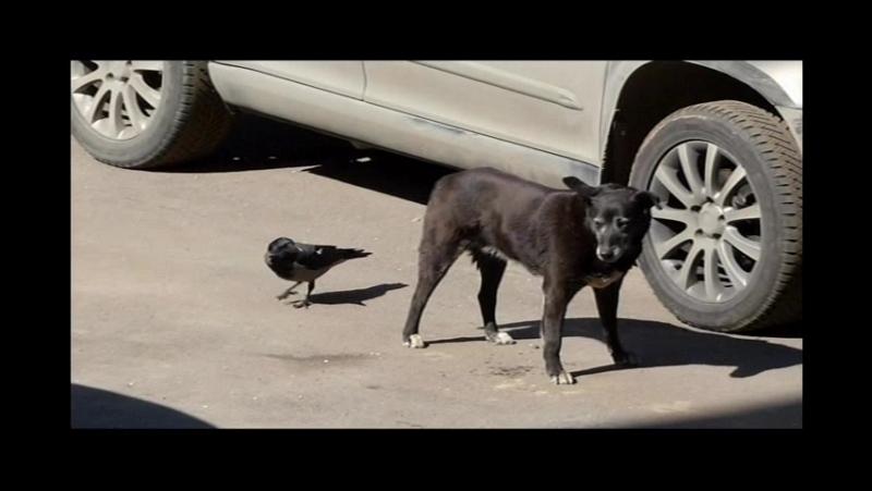 13.04.2016г ... Бирюлёво - западное . Бездомная собака Чернышка и ворона .