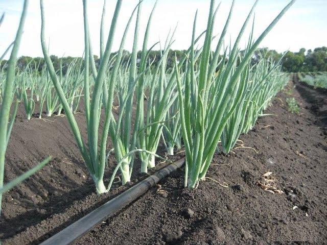 Как правильно выращивать репчатый лук чернушка