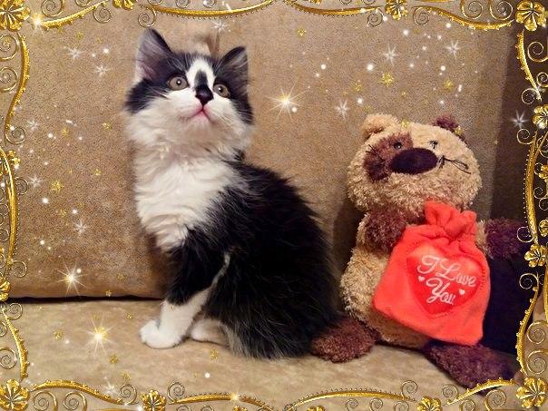 Брест, в дар! Удивительный котенок с обворожительной внешностью и потрясающим ха...