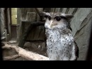 Too cool!Forest Eagle Owl.Spot-bellied Eagle Owl.ネパールワシミミズク。