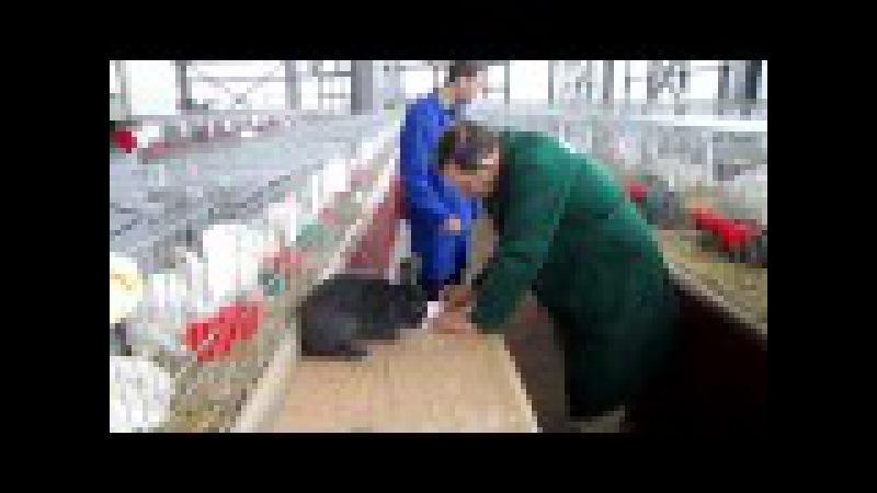 Arbitraj iepuri la expozitia nationala de păsări şi iepuri, organizată la Craiova