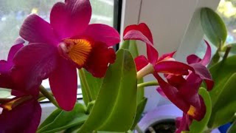 Как добиться цветения орхидеи Каттлея !
